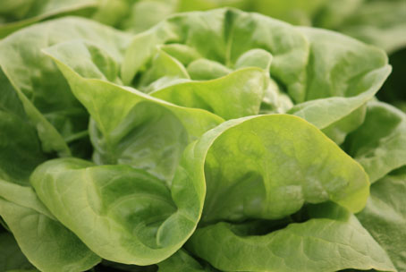 Hydroponic vegetables grown fresh year round for your favorite salads.